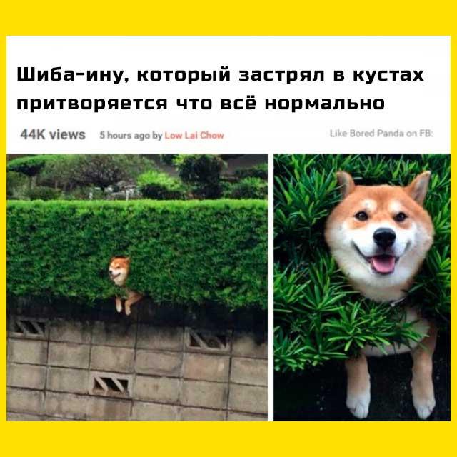 собака шиба мем - притворяется что всё в порядке